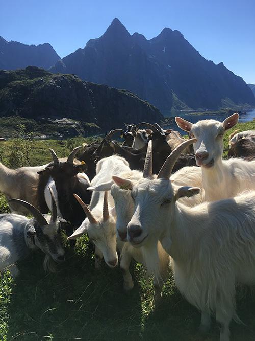 goats lofoten